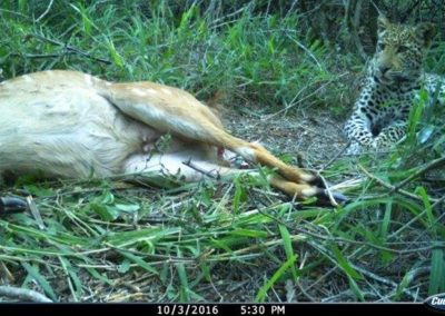 Leopard on nyala kill1 - Tom Pritchard