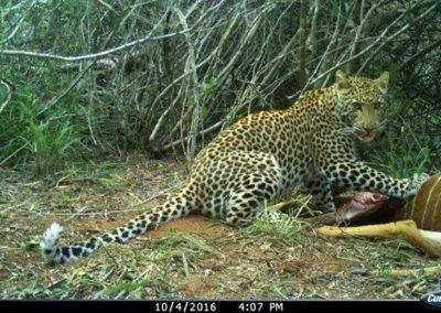 Leopard on nyala kill12 - Tom Pritchard
