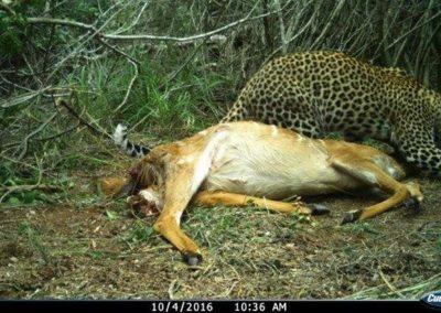 Leopard on nyala kill7 - Tom Pritchard