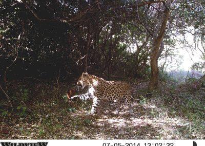 Leopard on red duiker kill3 - Richard McKibbin