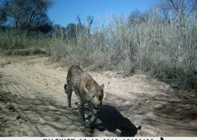 Leopard on road - Marakele NP - Jacque Fourie