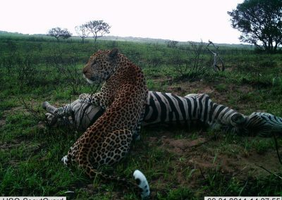 Leopard on zebra kill - Richard McKibbin