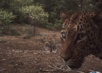 Leopard pair - Ntibane - Alan Williams