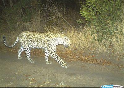 Leopard passing - Ollie Sinclair