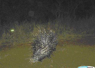 Leopard stalking procupine - Charl Senekal