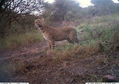 Leopard stare2 - Louisa Richmond-Coggan