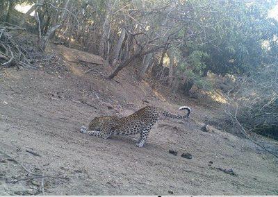 Leopard stretching - S McAuley