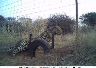 Leopard through fence2 - Naan ke se - Namibia