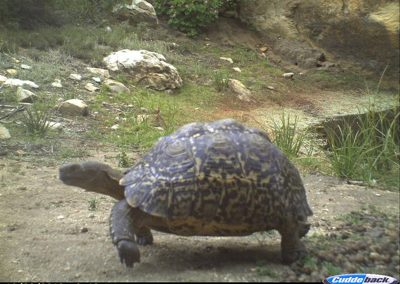 Leopard tortoise - Alan Lee