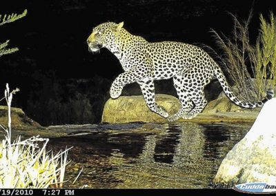 Leopard1 - Cape Leopard Trust - Boland