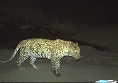 Leopard10 - Wilderness Safaris