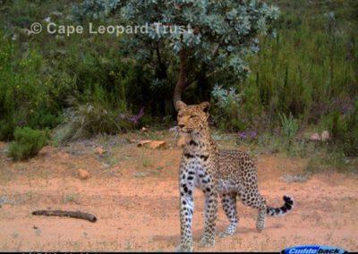 Leopard18 - Cape Leopard Trust