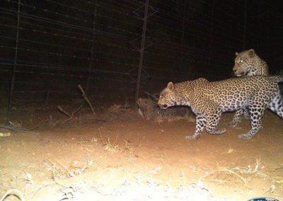 Leopard5 - Villiers Steyn - HWE