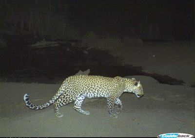 Leopard9 - Wilderness Safaris