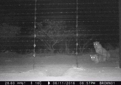 Leopards mating 3 - Villiers Steyn