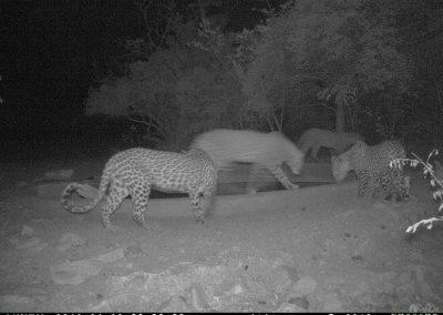 Leopards x 4 drinking1 - Marisa Kruger