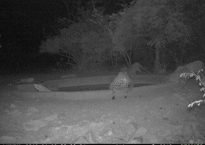 Leopards x 4 drinking2 - Marisa Kruger