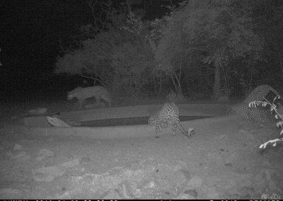 Leopards x 4 drinking3 - Marisa Kruger
