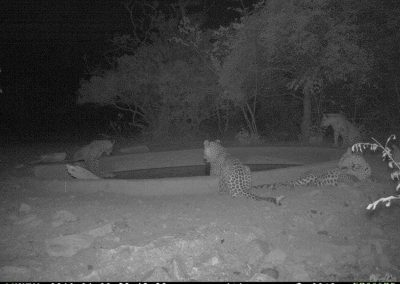 Leopards x 4 drinking4 - Marisa Kruger