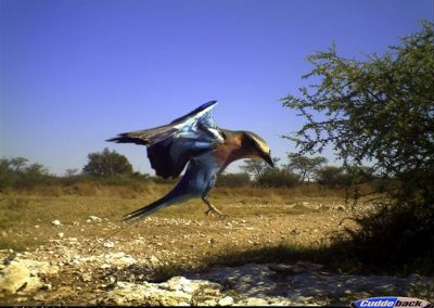 Lilacbreasted roller landing - Lorraine Boast