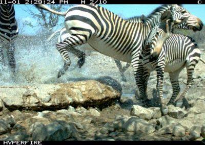 Lion and Startled zebras - Ken Stratford - Namibia
