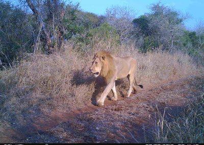 Lion male - Simon Grout
