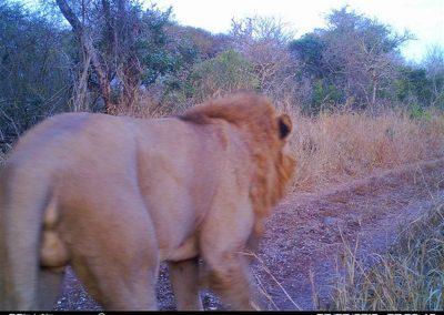 Lion male4 - Simon Grout
