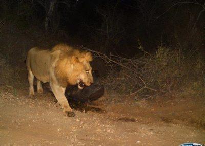 Lion on buffalo kill1 - Peter Thorpe