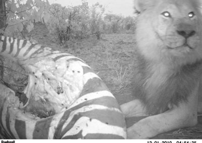 Lion on zebra kill5 - Stephen Midzi - SANParks