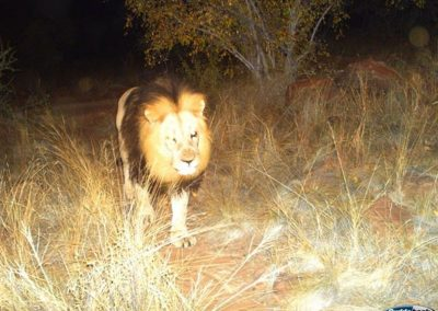 Lion passing3 - Kaingo PGR - Nick Callichy