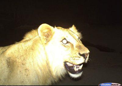 Lion3 - Wilderness Safaris