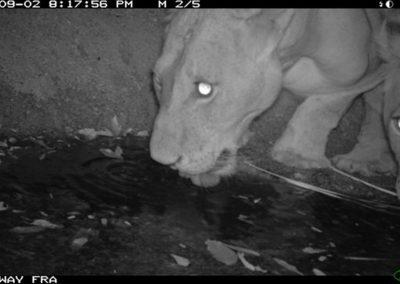 Lionesses drinking - Riaan Labuschagne