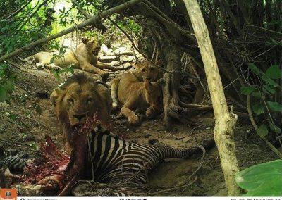 Lions on Zebra kill4 - Jason Du Plessis