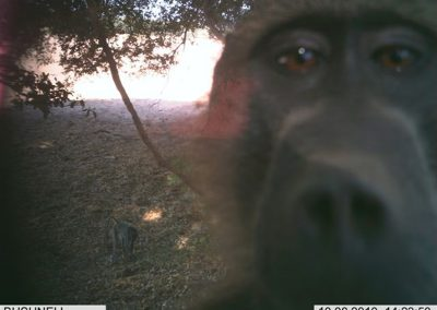Looking baboon - Wilderness Safaris