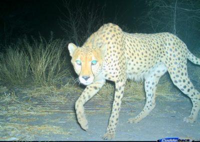 Looking cheetah - Lorraine Boast