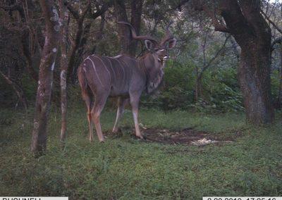 Majestic kudu bull - Carl Huchzermeyer