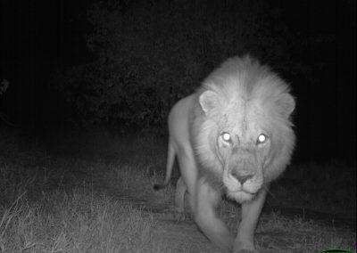 Male Lion - - Limpopo Transfrontier Predator Project