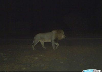 Male lion - Wilderness Safaris