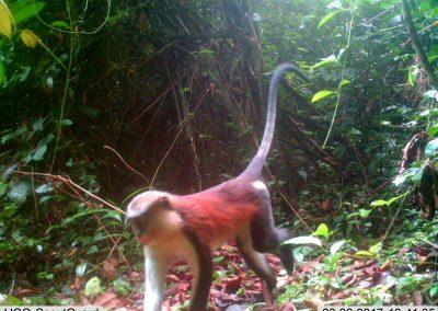Mona monkey1 - Craig Widdows - Cameroon