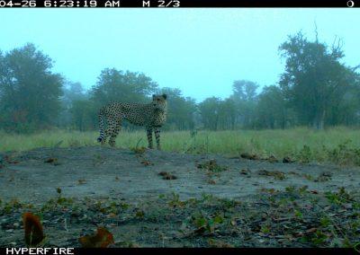 Morning cheetah - Limpopo Transfrontier Predator Project