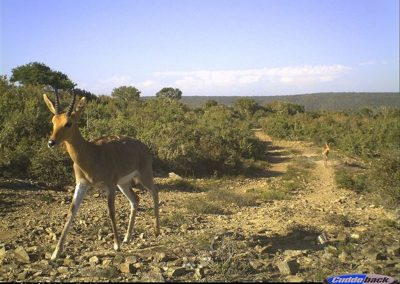 Mountain reedbuck and young - Brad and Mary Fike
