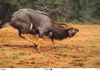 Nyala bull - Tom Pritchard