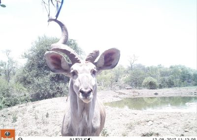 One horned kudu bull - Leonie Hofstra
