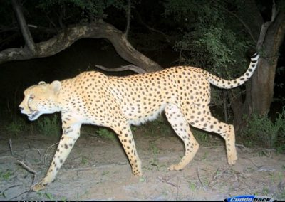 Passing cheetah - Lorraine Boast