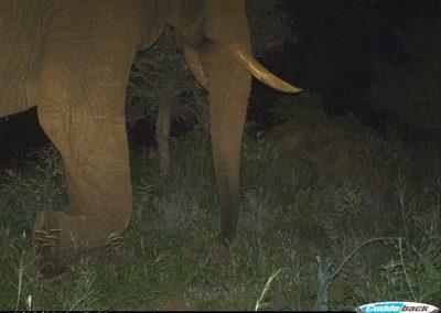 Passing elephant bull - Peter Thorpe