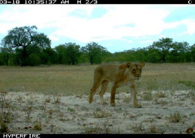 Passing lioness - Limpopo Transfrontier Predator Project