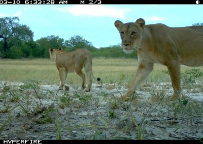 Passing lionesses - Limpopo Transfrontier Predator Project