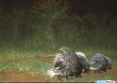 Porcupine family - Rina de Klerk