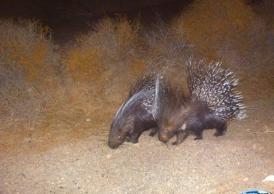 Porcupine pair - Tankwa Karoo - Eric Halleen