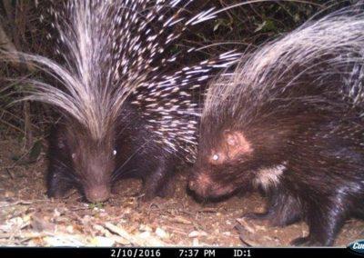 Porcupine pair - Tom Pritchard